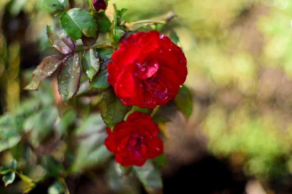 akasi gol12 - هنر عکاسی از گل ها