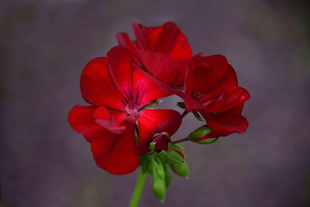 akasi gol21 - هنر عکاسی از گل ها